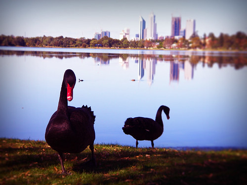 Day 341 -The Black Swans of Perth