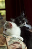 Kittens 9 weeks-Athena and Selena0340 (Dr DAD (Daniel A D'Auria MD)) Tags: cats pets cute cat fun jumping furry kitten feline kittens felines playful scratching