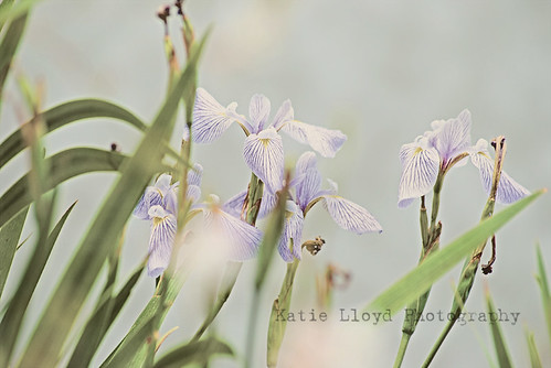irises-by-pond