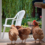 Our hens survey the garden.