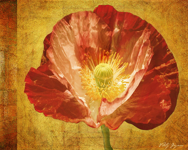 322Royal Poppy Beauty Large-web