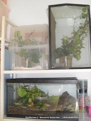 SDC15607 (Guillermo J. Navarro (XhIvAdEmOn)) Tags: insects terrarium phasmids terrariums peruphasma schultei platymeris sungaya inexpectata xhivademon shivademon peruphama