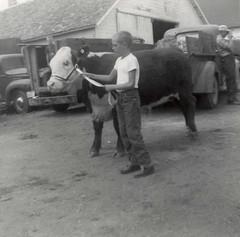 4-H Calf (Rott Lover) Tags: pickuptruck calf 4h