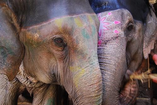 Elephants, Amber Fort, Jaipur, India