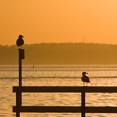 Sunset birds (Hkan Dahlstrm) Tags: bridge sunset orange bird sol birds del soleil skne twilight zonsondergang tramonto sonnenuntergang sundown sweden dusk schweden coucher fav20 du sverige puesta helsingborg lightroom  raa  svezia skane  fav10 r