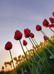 Tulips Sunrise (JM Clark Photography (jamecl99)) Tags: blue red summer sky flower green nature floral colors field yellow sunrise garden season landscape botanical countryside washington spring bed flora nikon scenery colorful tulips bright farm vibrant farming seasonal blossoms scenic culture fresh bloom d200 agriculture mountvernon springtime mtvernon anawesomeshot colourartaward