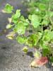 IMG_2355a (mausboam) Tags: veronica hillside speedwell veronicahederifolia vc56 scrophularaceae taxotagged taxonomy:binomial=veronicahederifolia photo:ref=2355a