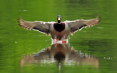 Touching Down (ozoni11) Tags: lake bird nature birds animal animals duck nikon lakes ducks wetlands mallard waterfowl wetland mallards columbiamaryland d300 blueribbonwinner wildelake animaladdiction michaeloberman ozoni11