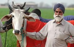Proud farmer (gurbir singh brar) Tags: india proud happy ox farmer sikh agriculture punjab bullocks ruralolympics jat kilaraipur peoplesofindia gurbirsinghbrar jatsikh