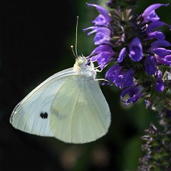 cabbage white butterfly ... (jude) Tags: white flower macro butterfly bravo purple bokeh butterflies explore cabbage resting liatris ahem judithmeskill cabbagewhitebutterfly firstquality magicdonkey 30faves30comments300views visiongroup infinestyle goldstaraward vision100