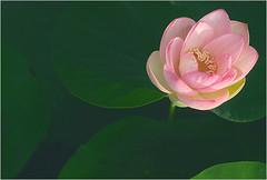 Lotus Flower - IMGP2325 (Bahman Farzad) Tags: china morning pink sun india inspiration flower macro yoga tattoo thailand truth cambodia peace lotus blossom relaxing calming peaceful teacher sacred meditation therapy budha elegant inspirational spiritual simple hindu soulful heavenly buda tatto peacefulness devine lotusflower therapist lotusflowers lotuspetal warly lotuspetals soulfulflower lotusflowerpetals lotusflowerpetal