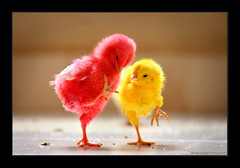 Ouch! (Light and Life -Murali ) Tags: red yellow kids ouch chick explore chicks aaw activeassignmentweekly bestofweek1 bestofweek2 bestofweek3 bestofweek4 bestofweek5 bestofweek6 bestofweek7 bestofweek8 bestofweek9 rammorrisonfav bestofweek10 bestofweek11 bestofweek12
