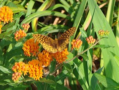 Orange spotted butterfly on butterflyweed (Martin LaBar) Tags: flowers orange butterfly garden southcarolina lepidoptera bloom apocynaceae butterflyweed naturesfinest asclepiastuberosa pickenscounty a1f1