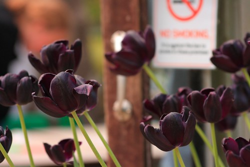 Almost Black Tulips
