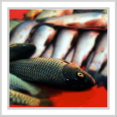 Mute ! (Aneeta Mirza.) Tags: life pakistan red fish eye nature water shop blood karachi sindh mirza aneeta