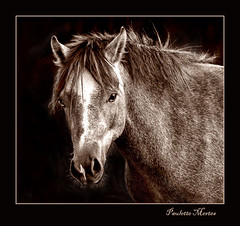 Looking Right Through Me (Paulette Mertes) Tags: horses nature animals sepia portraits animalportraits flickrsbest abigfave worldbest makeitamegashot theunforgettablepictures betterthangood goldwildlife goldstaraward mymegashot topqualityimage thisstandsout ysplixblack portraitsonblack