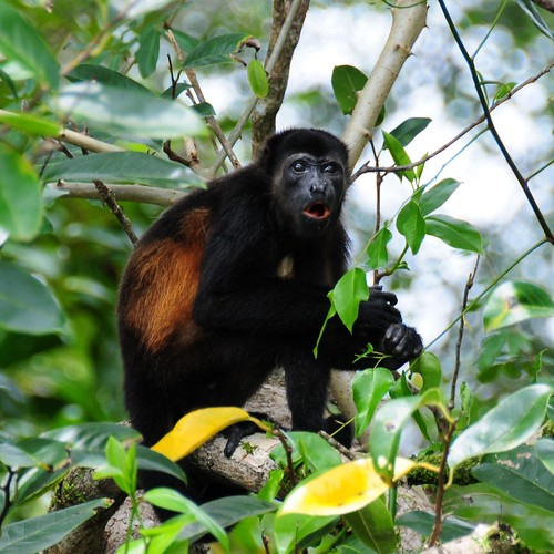 "Howler Monkey, Osa, Costa Rica • <a style=""font-size:0.8em;"" href=""http://www.flickr.com/photos//2671653253/"" target=""_blank"">View on Flickr</a>"