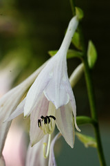 hosta bloom closeup