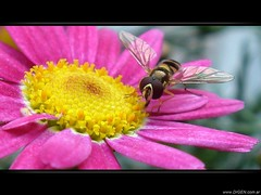 Cosechando... (DrGEN) Tags: pink flower macro yellow insect flor harvest bee amarillo cosecha abeja insecto rosado top20flowersandbugs peachofashot goldenvisions
