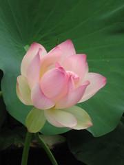 Sacred Lotus, Nelumbo nucifera