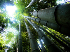 Giant bamboo forest - Fushimi Inari