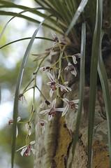 蘭科 蕙蘭屬 鳳蘭 (花) 蓮華池 Cymbidium dayanum