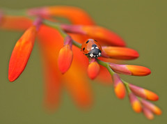 Ladybird on Crocosmia