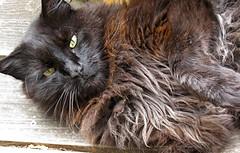 Brutus cat
