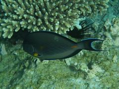 Cirujano de Arabia / Sohal surgeonfish (Acanthurus sohal) (copepodo) Tags: jordan jordania aqaba fauna marrojo redsea diving buceo submarinismo acanthuridae acanthurus sohal surgeonfish cirujano pez