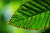 feliu ventura:que no s'apague la llum (visualpanic) Tags: life verde green hoja nature forest leaf focus natura bosque vida catalunya 2008 agost feelings verd fulla bosc osona viladrau