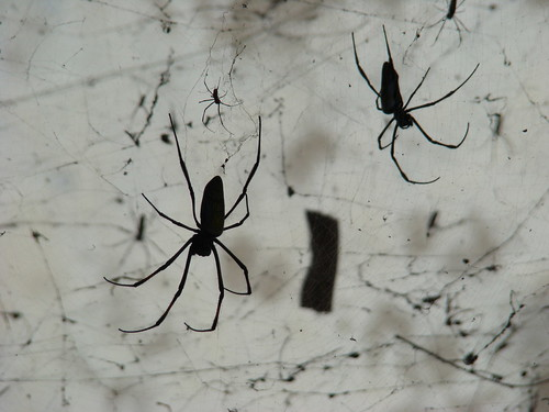 Spiders In Stone Town