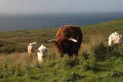 Highlands Calves