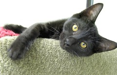 This Little Black Kitten is Zorro (Pixel Packing Mama) Tags: cute adorable catsandkittensset bcb pixelpackingmama blackcatspool dorothydelinaporter worldsfavorite cc100 catcentury montanathecat~fanclubpool favoritedpixset abcsand123spool theoneblackcatpool ceruleanthecat~fanclubpool blackcatsset canonallcanonset thecorvallisoregonyearsset catslookingatyoupool catfurniturepool thecorvallisoregonyearspart5set canonpowershota720isset ornerycats blackanimalspool blackcatspathpool abcs123sentriesset abcsand123stimetovotepool zisforzorro uploadedsecondhalfof2008set pixelpackingmama~prayforkyronhorman oversixmillionaggregateviews over430000photostreamviews