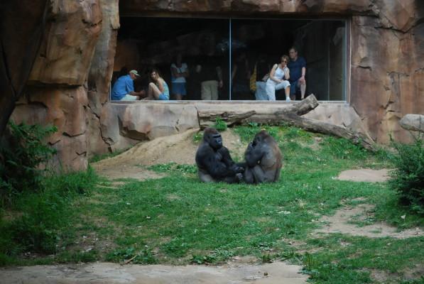 gorillas_1