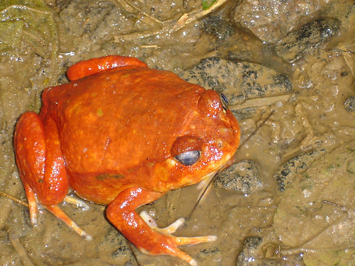 Tomato frog / tomaatkikker (Dyscophus antongilii) - Exotic Reserve Peyrieras, Madagascar
