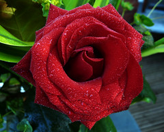 By any other name (Benobeone) Tags: uk flowers red plants mist flower macro green nature water beautiful rose t droplets flora foliage devon blooms hybrid abigfave excellentsflowers 4mazingorgeoushotsoflowers mimamorflowers awesomeblossoms