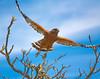 Red Shouldered Hawk Taking Off (flopper) Tags: tree bird hawk takeoff ardenwood redshoulderedhawk interestingness26 flopper interestingness45 avianexcellence
