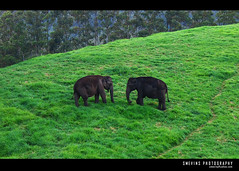 Wild Munnar (Smevin Paul - Thrisookaran !! www.smevin.com) Tags: wild two elephant green grass female point paul munnar smevin d40x mattupatty malayalikoottam smevins thrisookaran