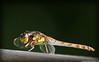 dragonfly (G.Hotz Photography (busy as a bee =)) Tags: portrait people food lake photography dornbirn feldkirch österreich stillleben foto fotograf fotografie hard bregenz gerald photograph bodensee constance bludenz oesterreich vorarlberg produkt hotz hochzeitsfotograf ondarena fotolyst