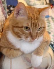 Ethan (PaperBouquet of Mars) Tags: noah iris orange cats white black sarah cat grey tabby gray tortoise shell kitty chloe joe ethan willow blonde kitties morgan elijah tbg torbie cattabby thebiggestgroup almostatortietortoiseshell