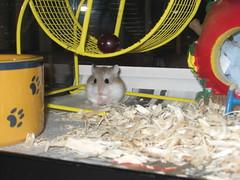 IMG_0362 (nihontou) Tags: hamsters