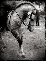 caballo de Franz Marc (uteart) Tags: bw horse texture sepia village carousel explore ute magical hagen soe visualart mora franzmarc schimmel hengst ut