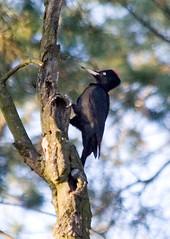 Black Woodpecker; Dryocopus martius (phenolog) Tags: bird ukraine blackwoodpecker dryocopusmartius piciformes picidae allphenologphotos allphenologbirds