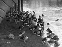 Geese Ouse Beach bw (Ravensthorpe) Tags: york bw water birds geese rivers ouse