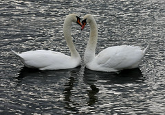 Swan love heart ...20th Nov 2008 (kjlast) Tags: uk england lake cute bird love water birds canon kent swan heart lovers swans l waterfowl 70200 70200mm leybourne theyaremine slbcourtshipdisplay pleasedontusethisimageonwebsites blogsorothermediawithoutmyexplicitpermissionthesephotosarentfree pleaserespectthatallrightsreserved