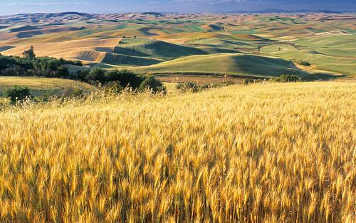 windows 7 ultimate wallpaper_14. Wheat Fied, Palouse, Washington State, USA Windows 7 Wallpaper 14