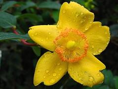 Iperico sotto la pioggia