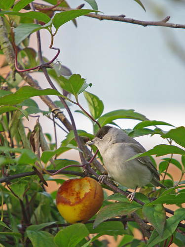 Blackcap Warbler (male)