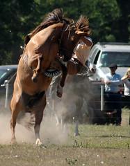 apricot dun 2 (Martina V.) Tags: horse sport caballo rodeo bronc equine argetina gaucho bucking rearing doma reddun