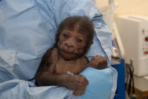 It's a Gorilla! Baby boy arrived Monday, December 8, 2008.